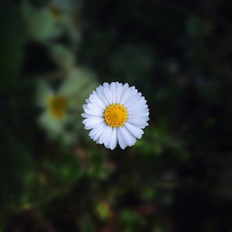 Съемка крупного плана красивого цветка маргаритки на запачканном естественном