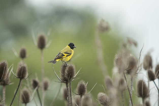 チクチクする植物の上に座って美しいモクレンウグイス鳥のクローズアップショット