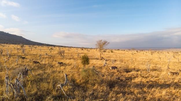 ツァボ西、ケニアのタイタヒルズの青い空の下のフィールドで放牧シマウマのワイドショット