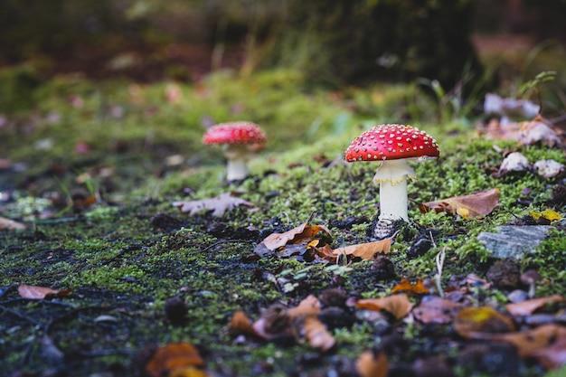 草で育つかわいいハラタケ菌のクローズアップショット