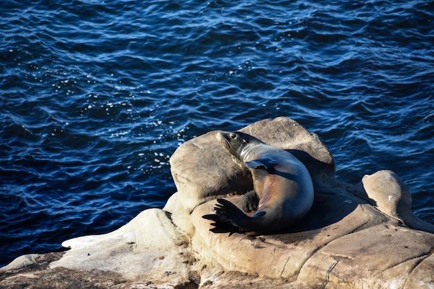 Милый калифорнийский морской лев отдыхает на скале на берегу моря