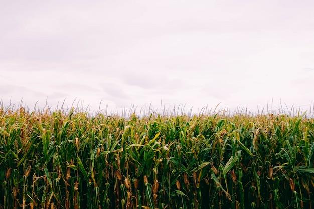 曇り空の下のトウモロコシ畑