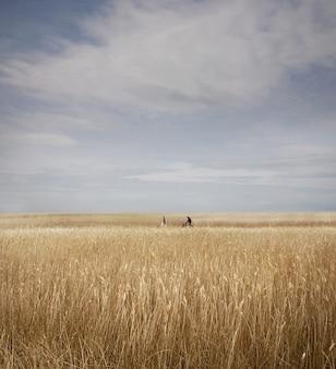 イギリス、サフォーク州のスネイプモルティングスの背後にあるリードベッドのフィールドの垂直方向のショット