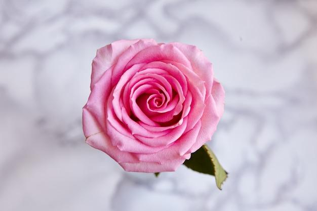 美しい咲いたピンクのバラの高角度のクローズアップショット
