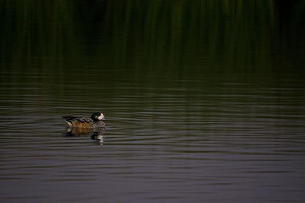 緑の湖でぶらぶらしているアヒル