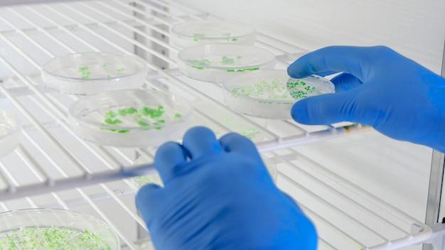 Лаборант исследует вещество на чашках петри во время исследования коронавируса