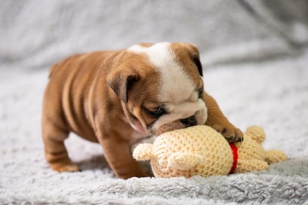 Маленький, маленький английский бульдог щенок, ребенок, играя с игрушкой