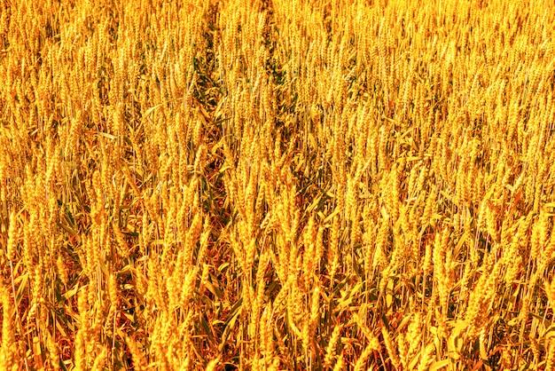 Сельскохозяйственное поле, желтая рожь