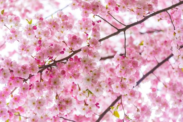 振りかける時間、桜の花の枝