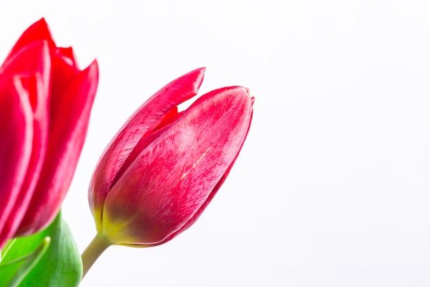 チューリップの赤い新鮮な芽をクローズアップ