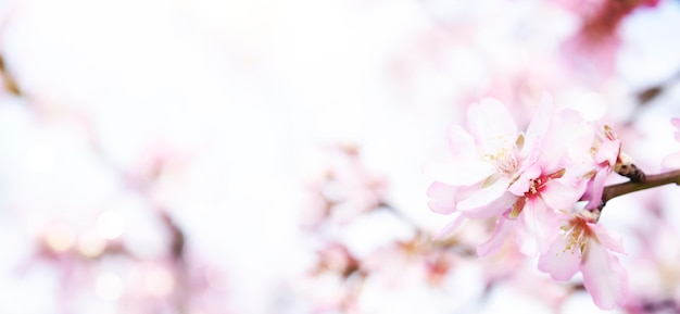 Цветение миндаля на размытом фоне природы