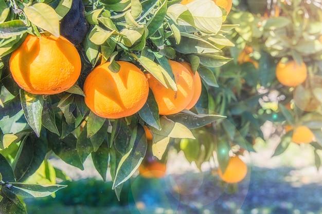 Плантации апельсиновых деревьев