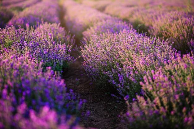 Ряды кустов цветущей лаванды.