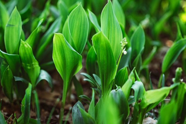 森の中の春の花スズラン。新鮮な自然な風合い。ソフト選択フォーカス。