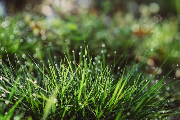 Капли росы на зеленой траве на солнечное утро. природные цветочные текстуры фона. выборочный фокус, малая глубина резкости. красивое натуральное боке.