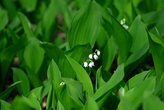 開拓地の森で春に咲くスズランの花。花のテクスチャ
