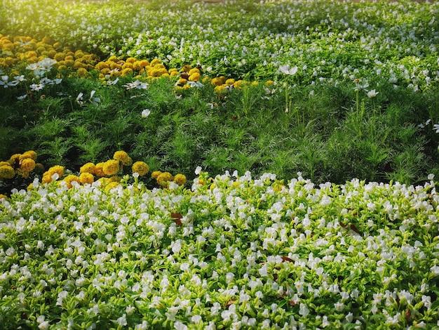 マリーゴールドと白い花のフィールドのフルフレームの背景