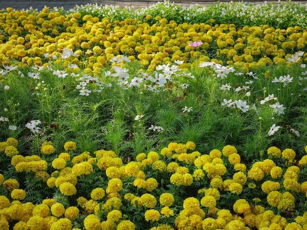 活気に満ちたマリーゴールドの花のフィールドのフルフレームの背景