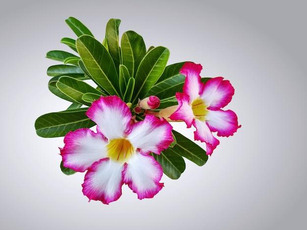 グラデーションの背景に分離された葉とピンクの白いプルメリアの花
