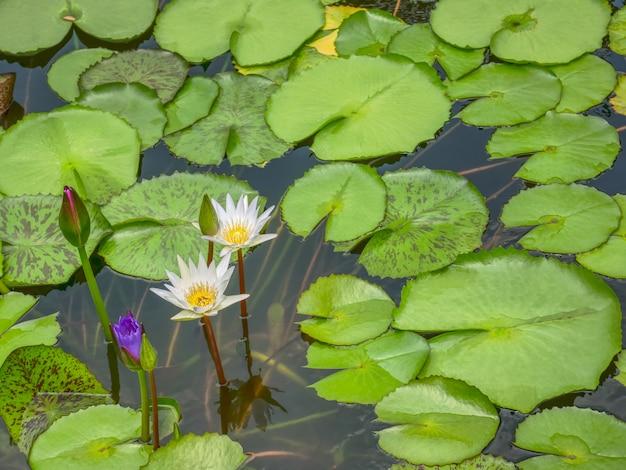 池の白い蓮の花の高角度のビュー