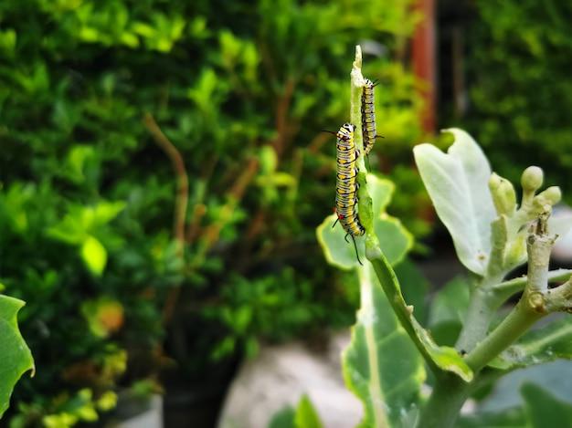 セレクティブフォーカスと植物の先端のクローズアップキャタピラー