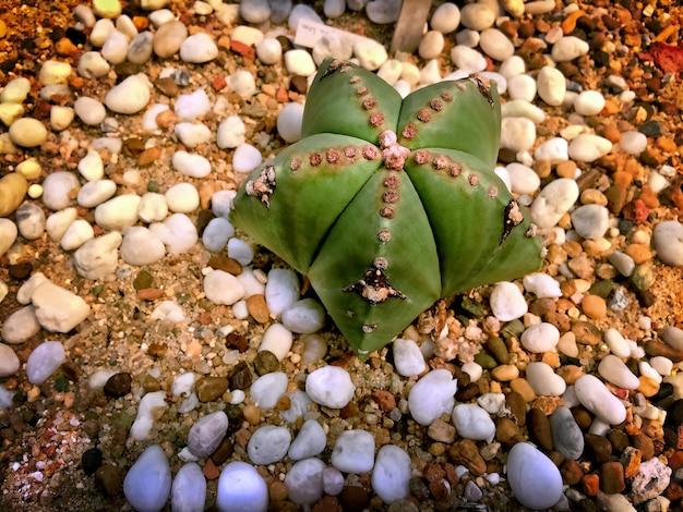 白い小さな砂利で地面に緑の星のような砂漠の植物