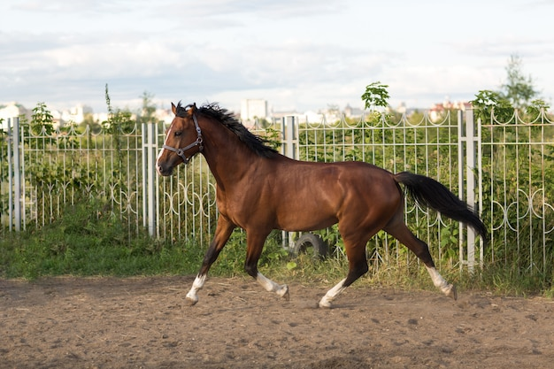 馬のハノーバー赤茶色と白のストリップライン