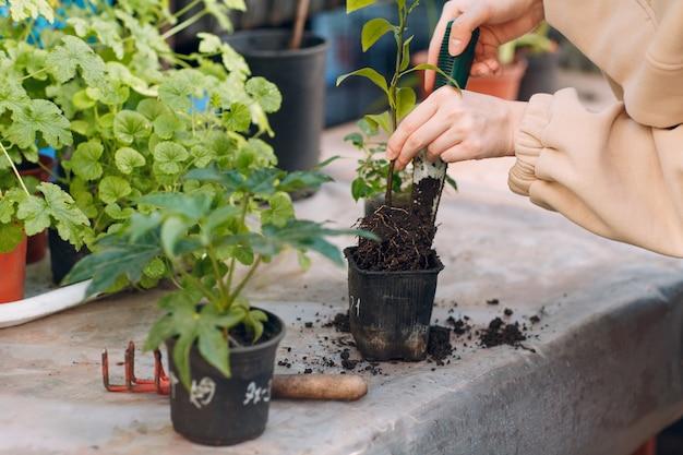 温室で女性家園芸苗植物。植物のルーツ。