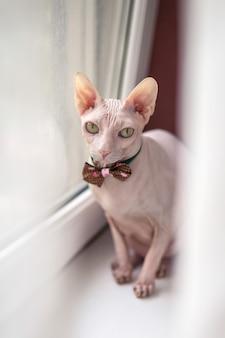 白い窓の上に座って美しい白いスフィンクス猫