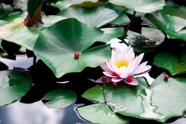 ピンクの蓮と池の葉