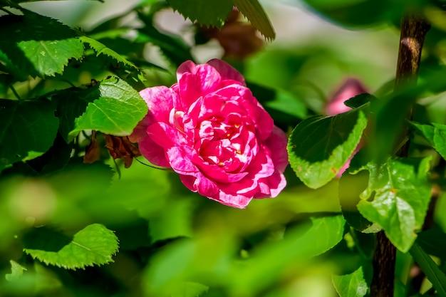 Большая красивая дикая роза среди зеленых листьев крупным планом.