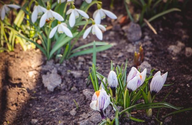 最初のスノードロップとクロッカスは春の晴れた日に地面から生えます