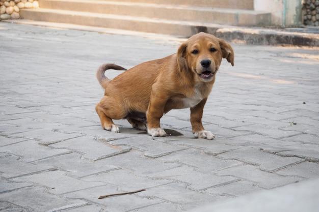 Щенок-собака мочится на земле в своем доме.