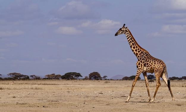 Жираф в национальном парке амбосели - кения