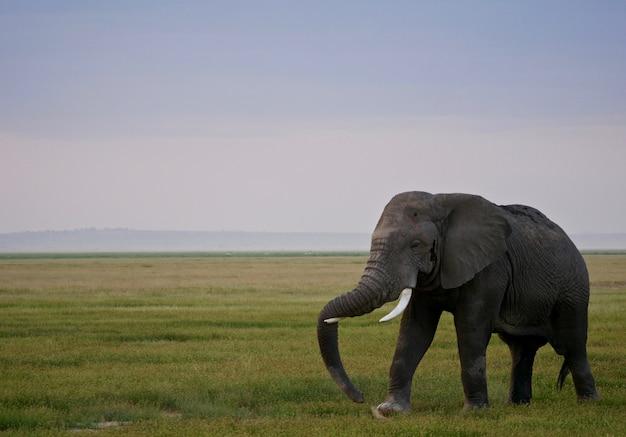 Слон в национальном парке амбосели - кения