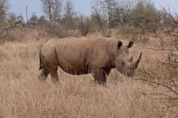 Белый носорог в национальном парке крюгера - южная африка