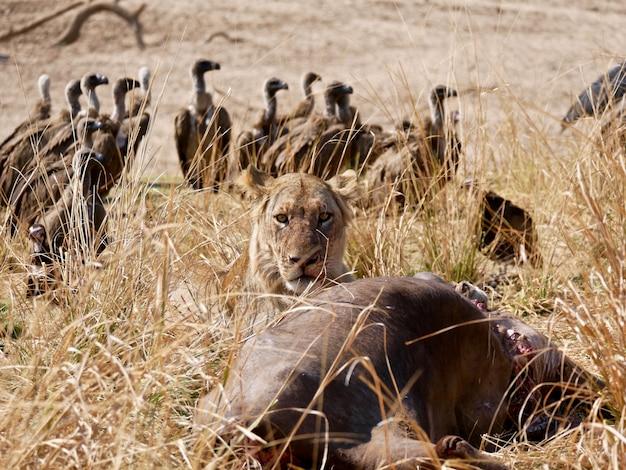 Лев в национальном парке южной луангвы - замбия