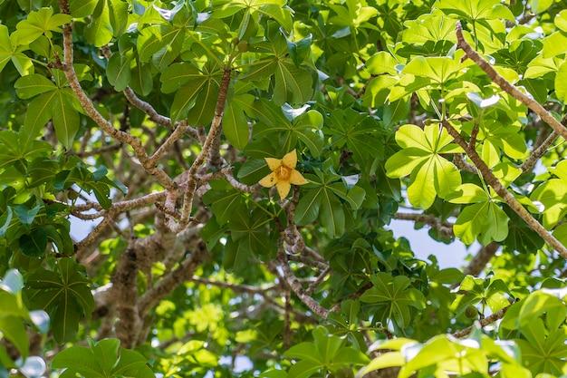 ザンジバル、タンザニア、アフリカの晴れた日にバックグラウンドで緑の葉とバオバブの木に黄色い花