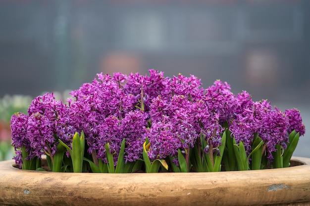美しいカラフルなベトナムライラック色の花ティエンオングは、ダナン、ベトナム、クローズアップの花壇を飾る