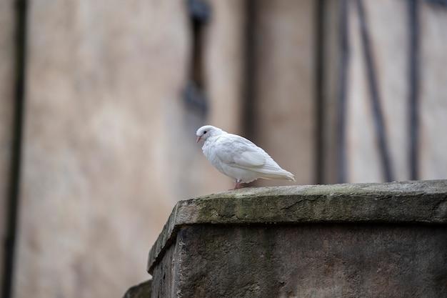 Белый голубь сидит на старой крыше в горной деревне недалеко от города дананг, вьетнам