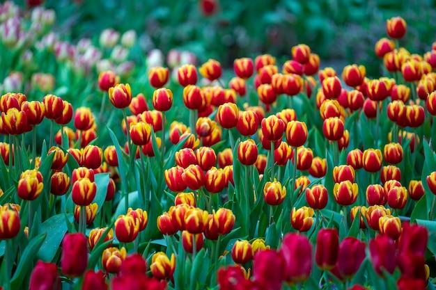 Красивая красочная красная и желтая предпосылка тюльпанов. поле весенних цветов. клумба тюльпанов в дананге, вьетнам