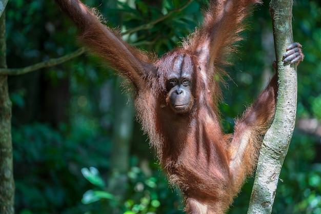 Дикий исчезающий орангутан в тропических лесах острова борнео