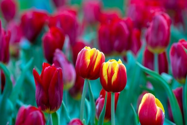 美しいカラフルな赤と黄色のチューリップの背景。春の花のフィールド。ベトナム、ダナンの花壇チューリップ