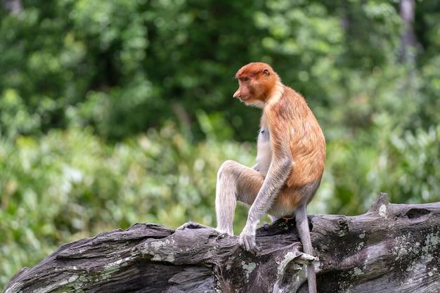 ボルネオ島の熱帯雨林で野生のテングザルまたはナサリスの幼虫の肖像画