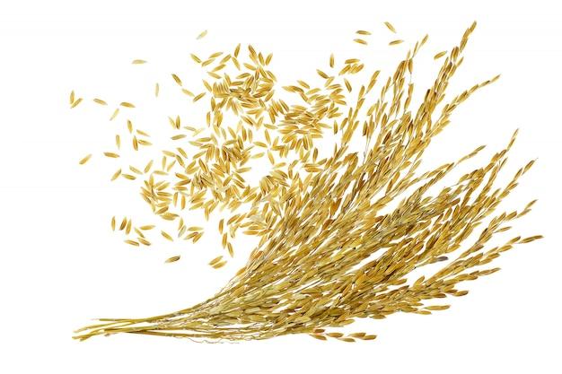 白い背景で水稲の耳