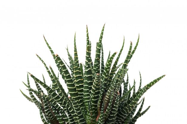 白い表面に分離された多肉植物