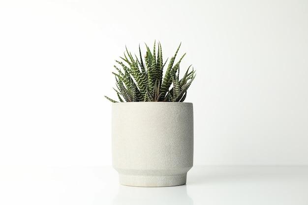 Сочные растения в горшке на белой поверхности