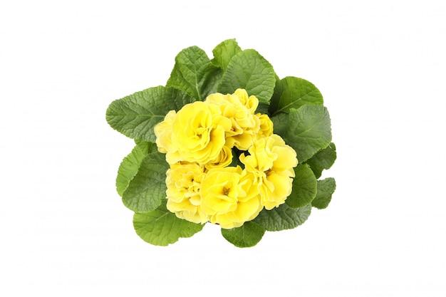 植木鉢を白で隔離される黄色のサクラソウ