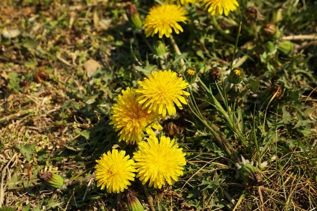 黄色いタンポポ、咲く春の花。晴れた春の日
