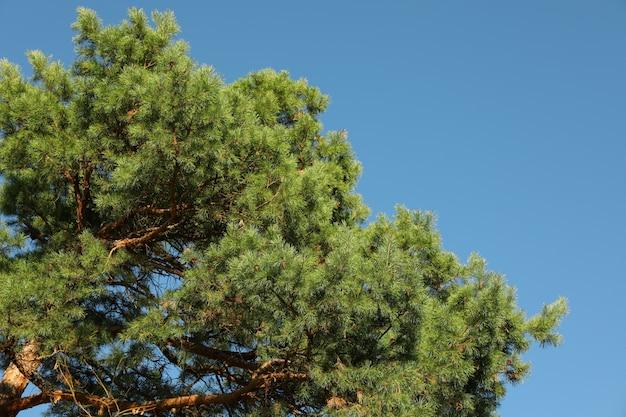 青い空を背景の松の木の上。晴れた日